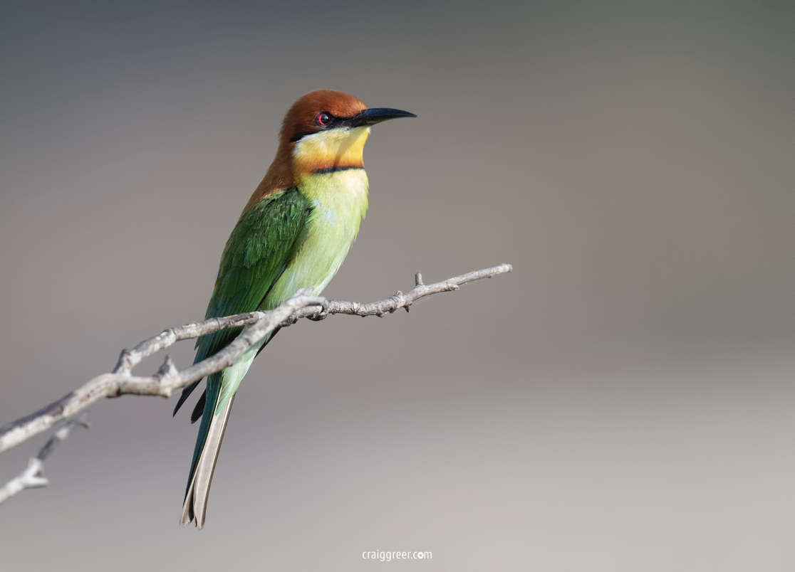 compressedChestnut-headed-Bee-eater-Wilpattu-NP-26-03-19.jpeg