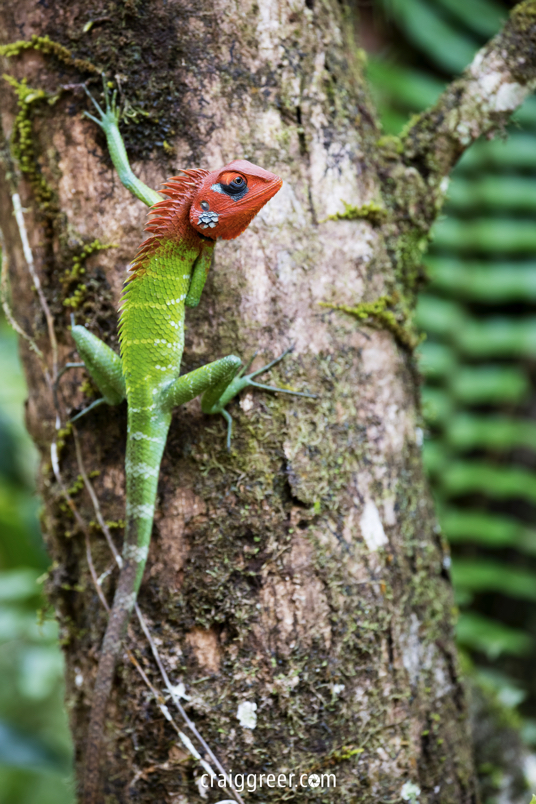 compressedGreen-Forest-Lizard-Sinharaja-Forest-Reserve-19-03-19.jpeg