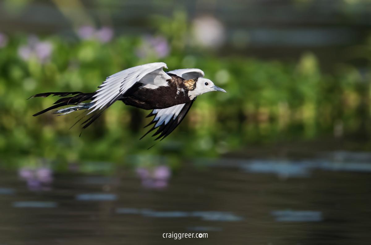 compressedPheasant-tailed-Jacana-Wilpattu-27-03-19.jpeg