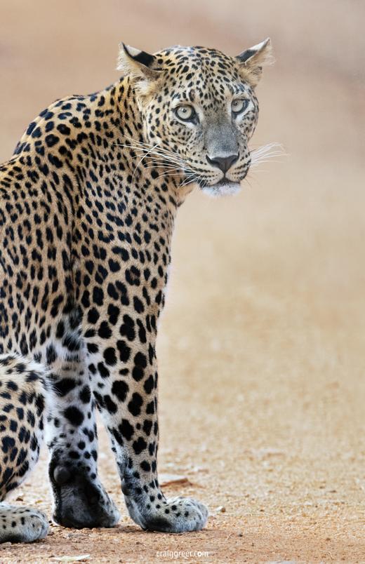 compressedSri-Lankan-Leopard-2-Wilpattu-NP-26-03-19.jpeg