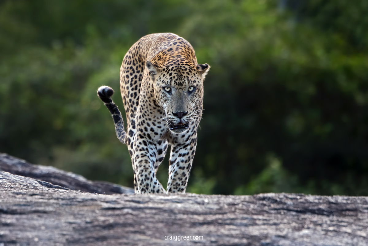 compressedSri-Lankan-Leopard-Yala-21-March-2019.jpeg