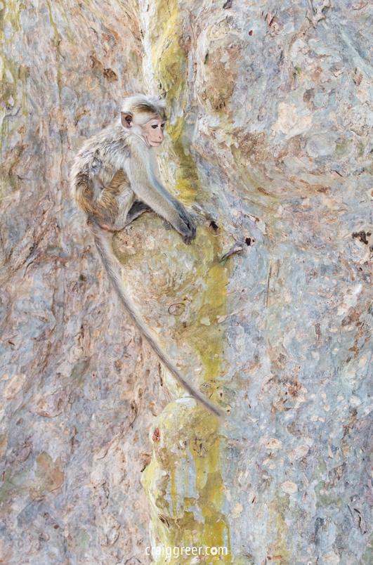 compressedTocque-Macaque-Yala-22-03-19.jpeg