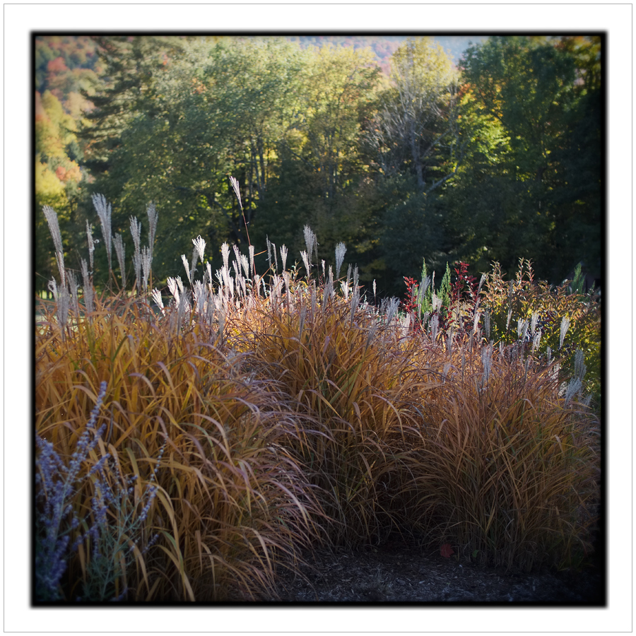 grasses   ~ St. Huberts, NY - in the Adirondack PARK