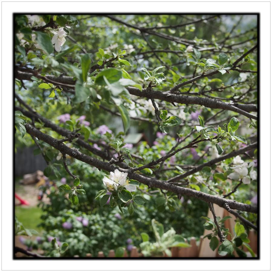 crab apple blossom   ~ (embiggenable)