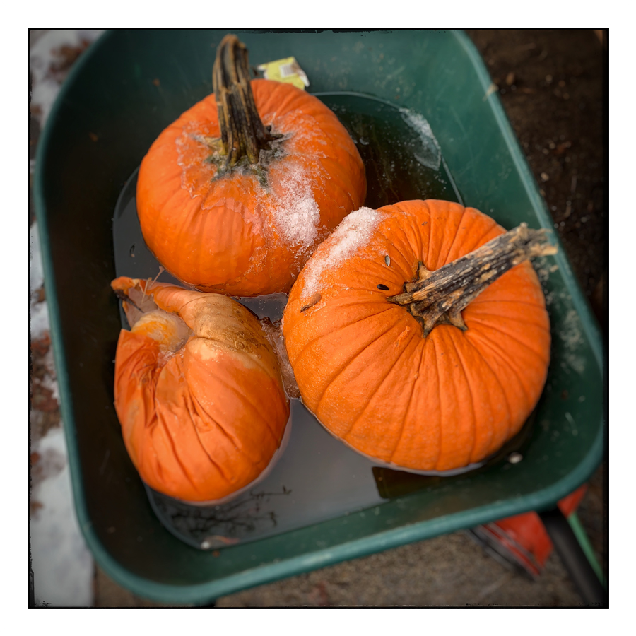 pumpkins   ~ (embiggenable) • iPhone