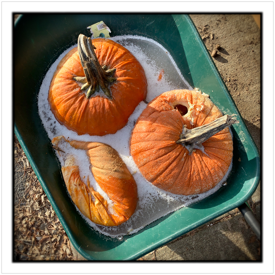 frozen pumpkins   ~ (embiggenable) • iPhone