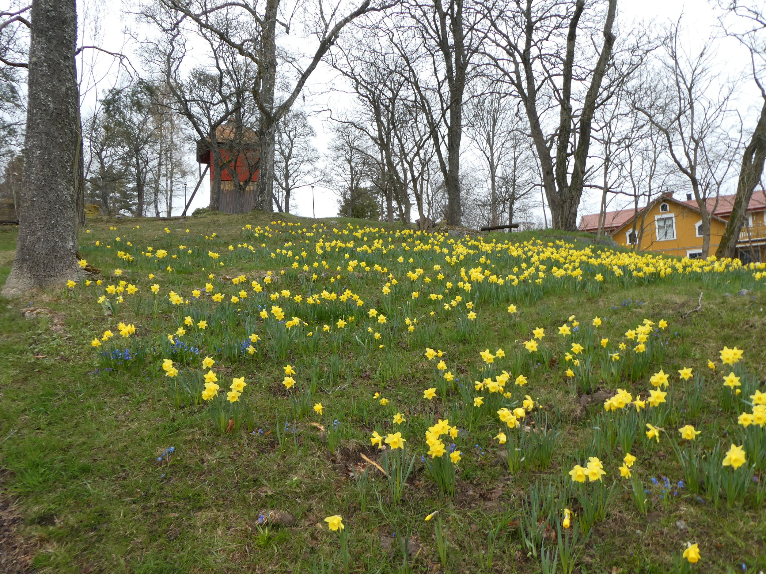 Daffodils in Sigtuna. They seem to grow everywhere.