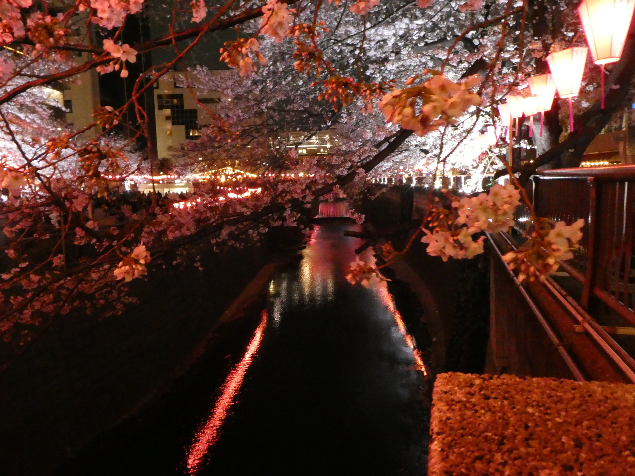 Lanterns line the Meguro River as cherry blossoms are in full bloom.