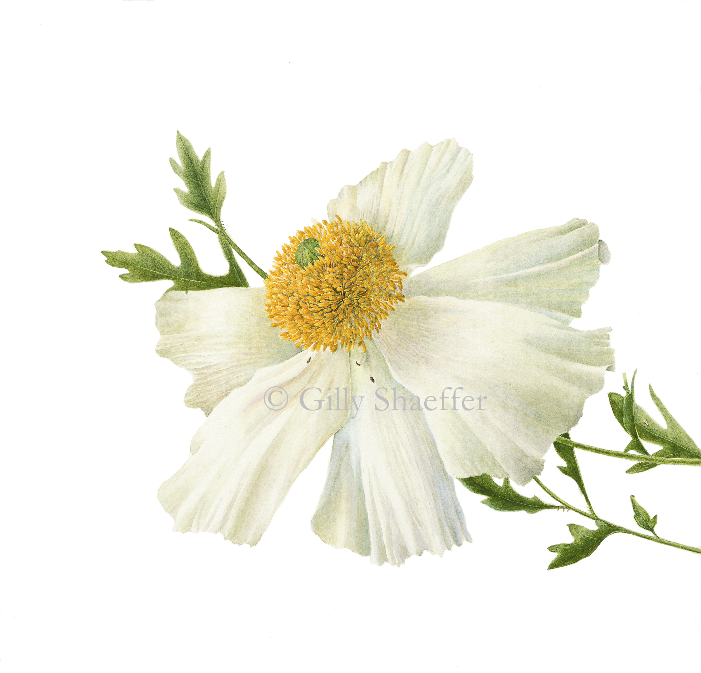 MatilijaPoppy copy.jpg