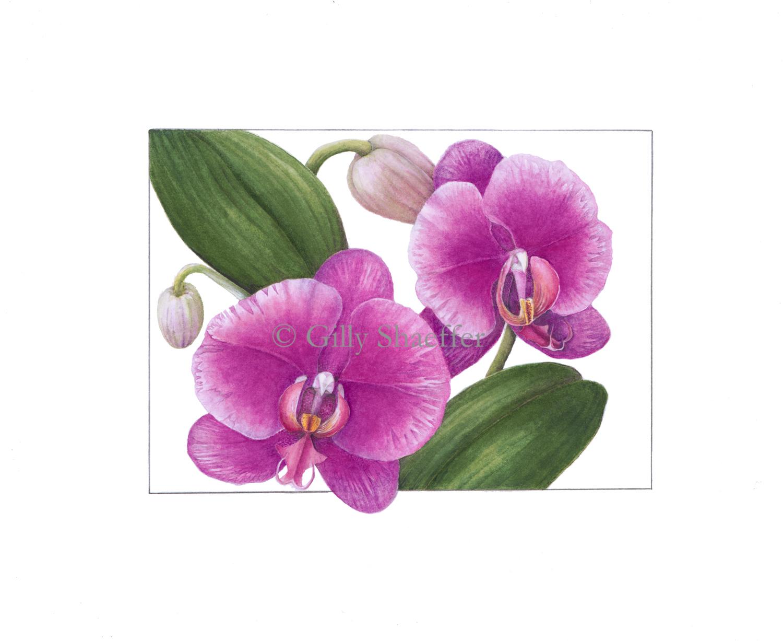 moth-orchid copy.jpg