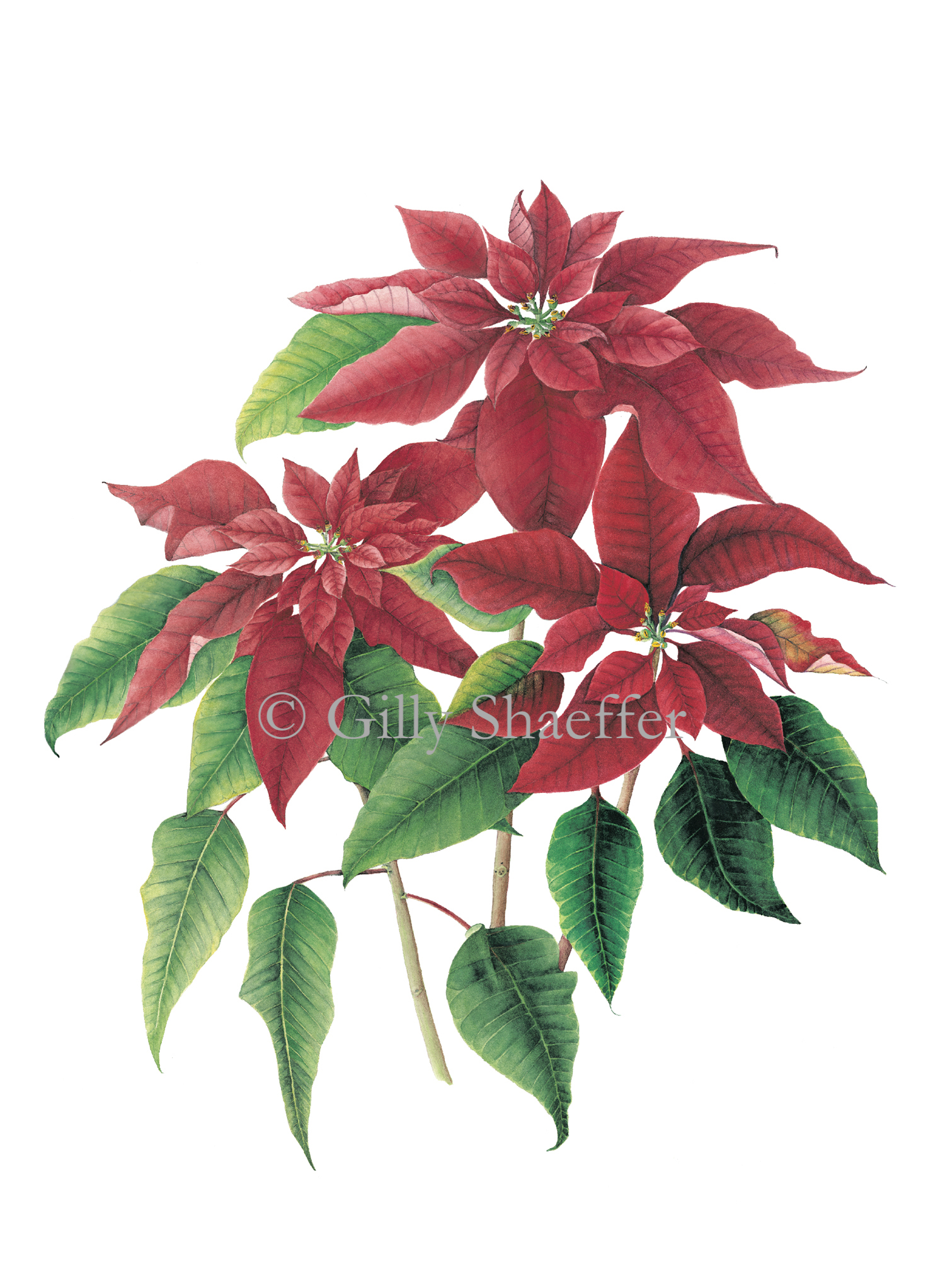 Poinsettia copy.jpg