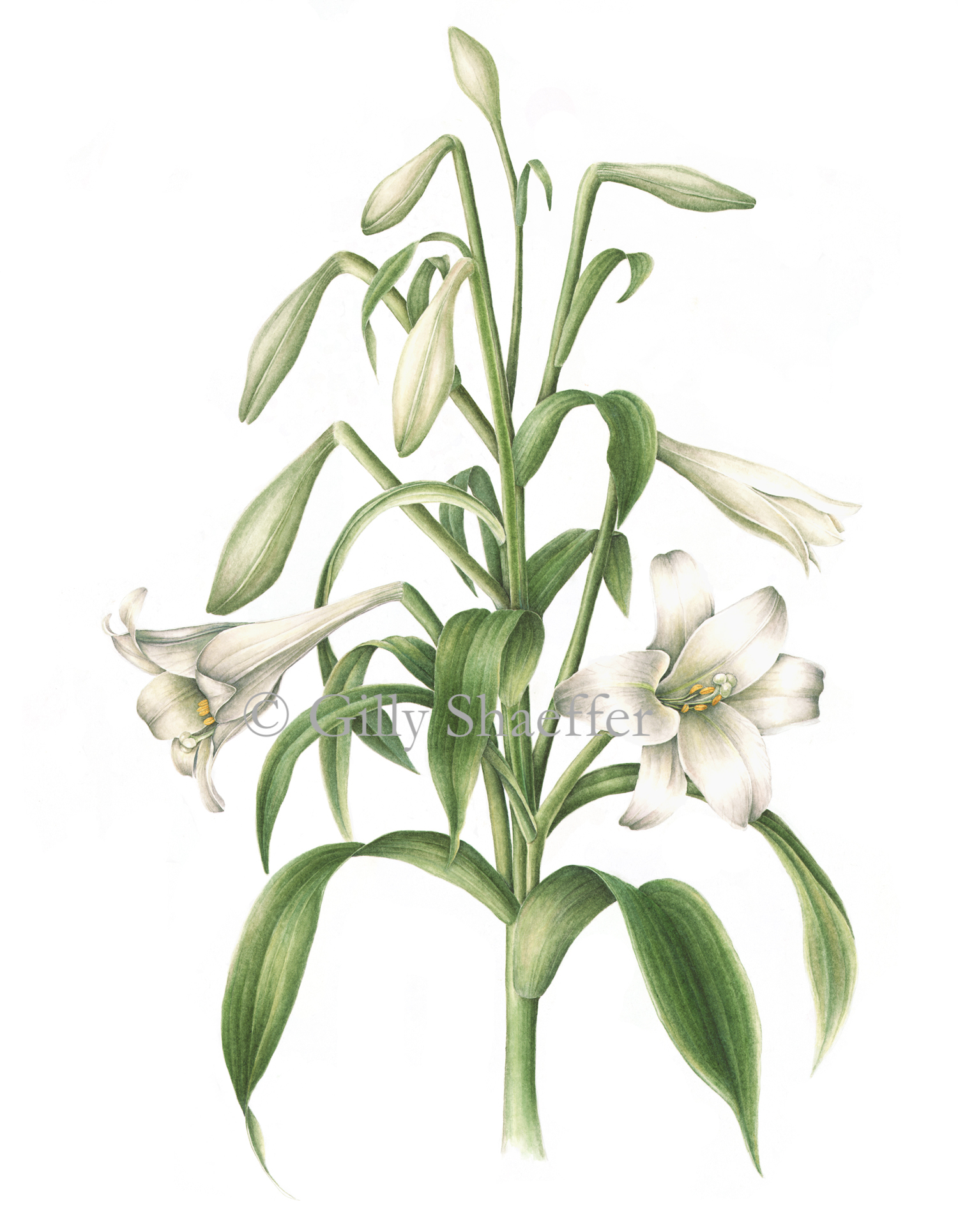 lily-longifloram copy.jpg