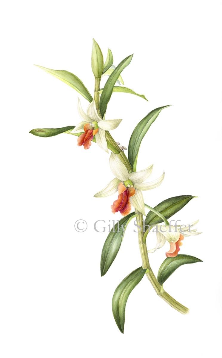 Dendrobium_copy.jpg