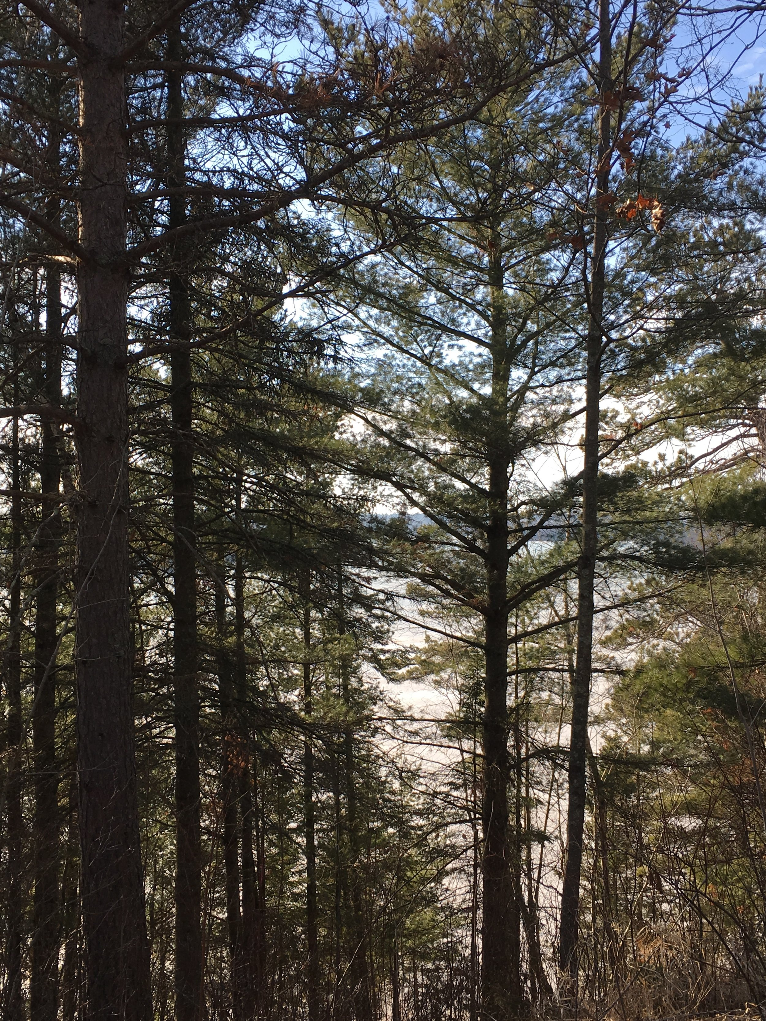 Pine forests of the Itasca State Park
