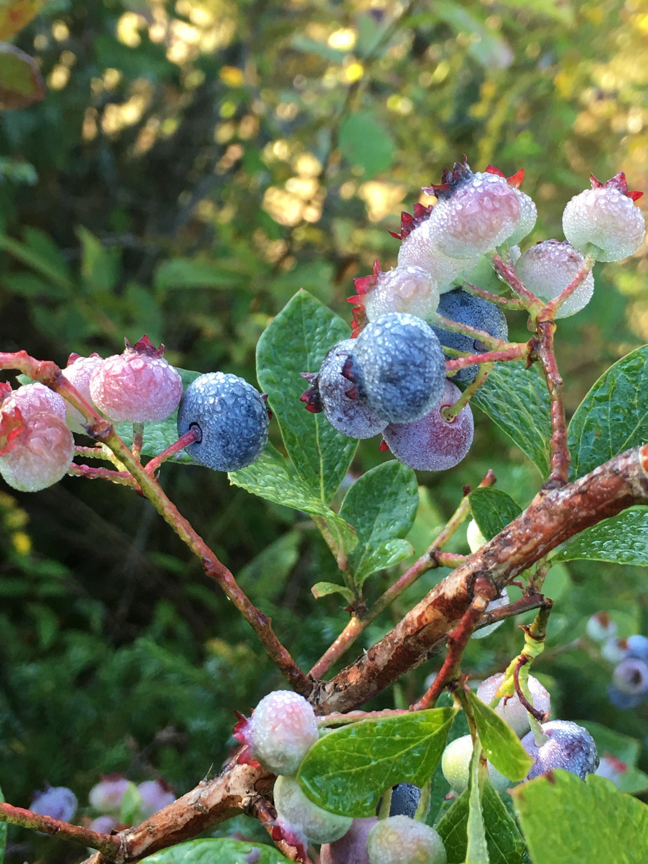 Dew on blueberries