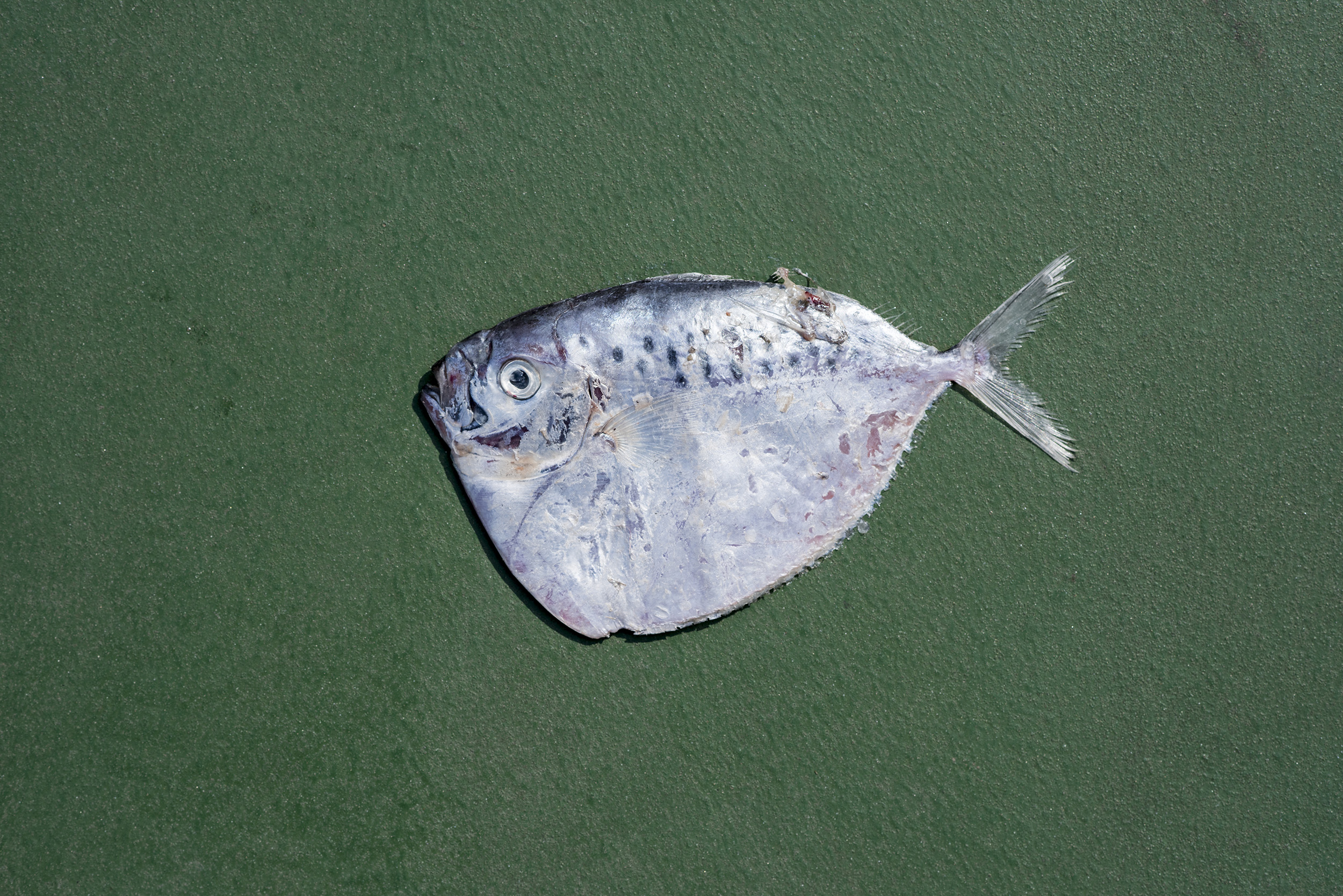 Moonfish:  Mene Maculata .