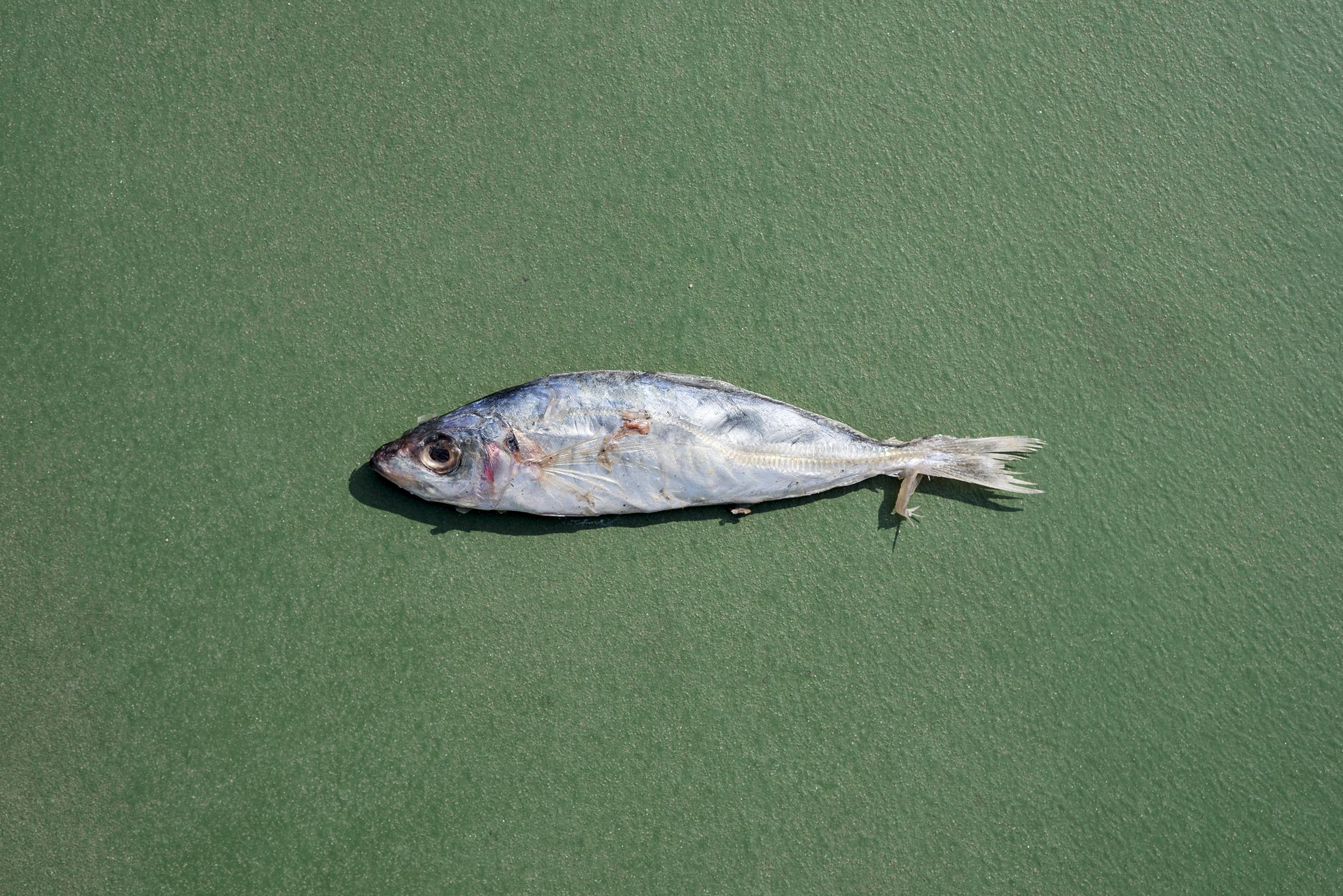 Japanese scad:  Decapterus maruadsi .