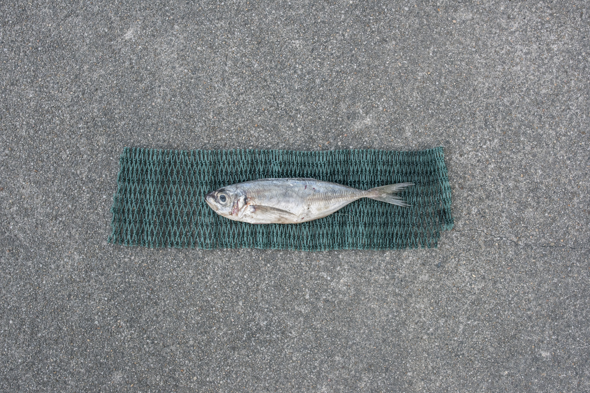 Size of juvenile Japanese scad caught for fish feed(11.4cm) versus size of average adult Japanese scad (15.8cm, as represented by green net below fish)