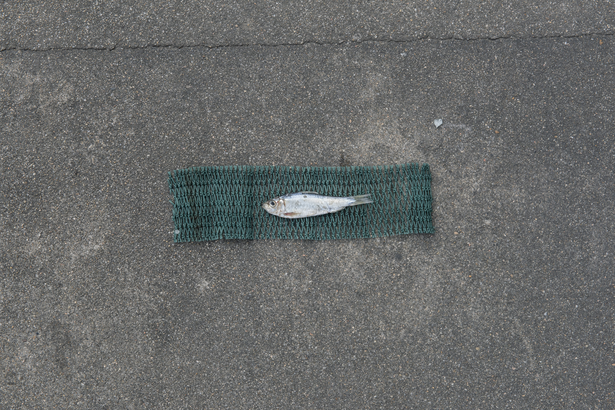 Size of juvenile Japanese scaled sardine caught for fish feed (4.5cm) versus size of average adult Japanese scaled sardine (9.5cm, as represented by green net below fish)