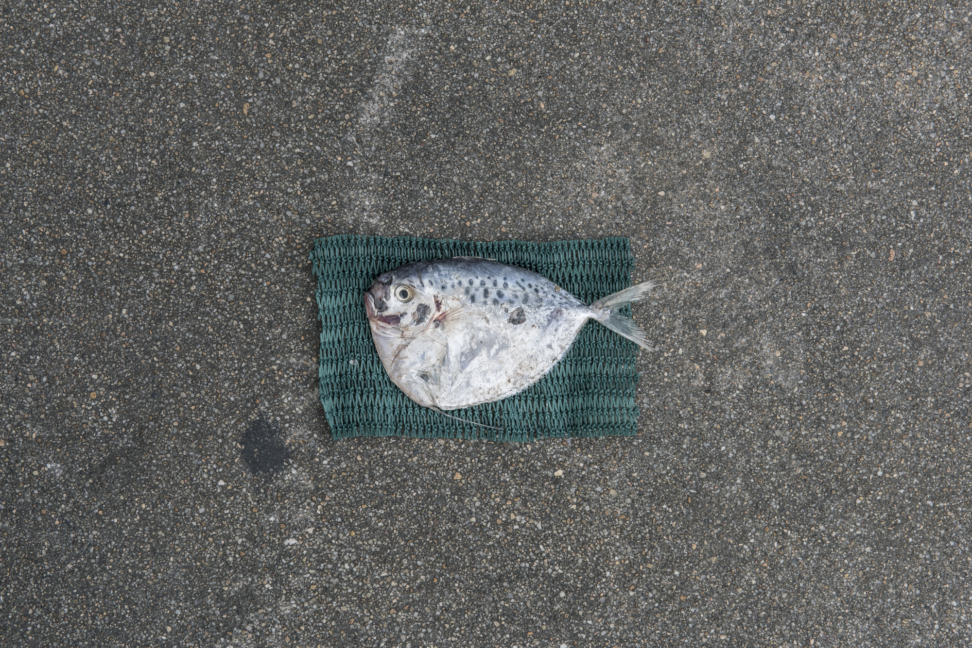 Size of juvenile Moonfish caught for fish feed (11.6cm) versus size of average adult Moonfish (14.0cm, as represented by green net below fish)