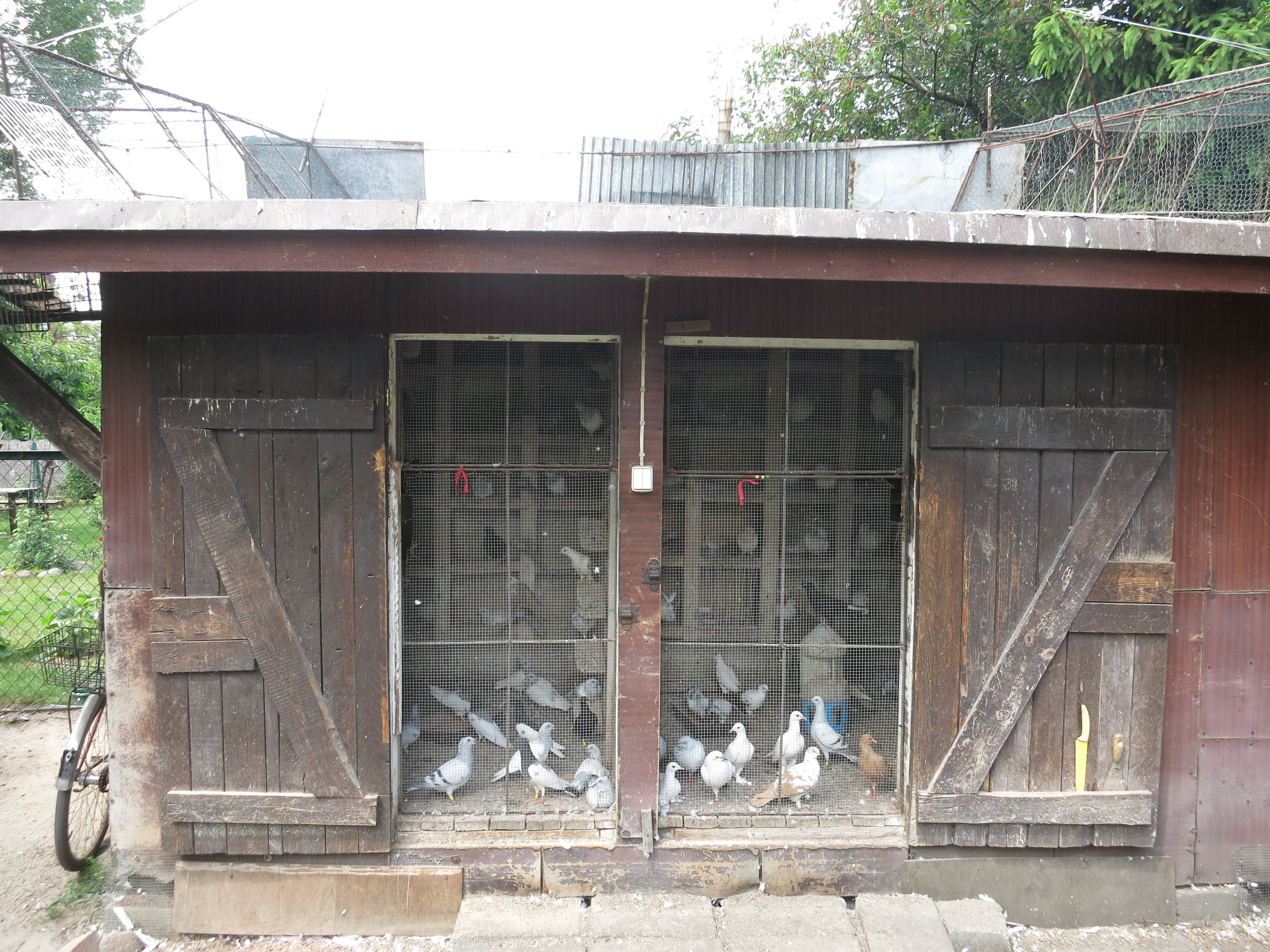 Backyard pigeon coop.