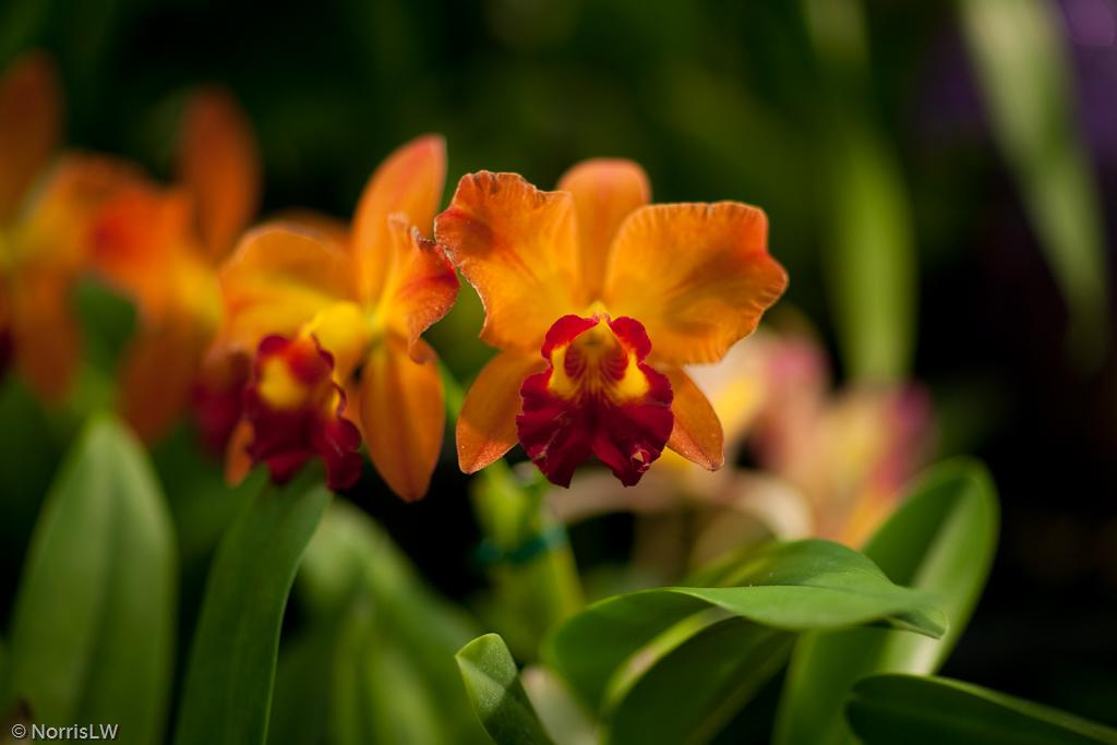Manoa_Orchid_Show-2.jpg
