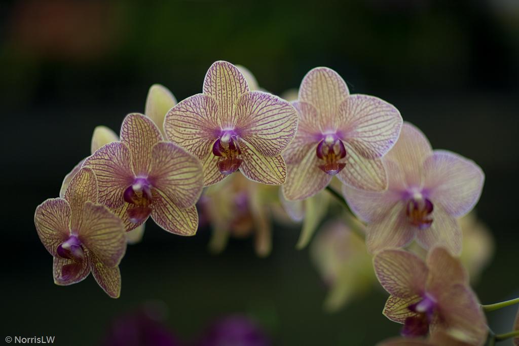 Manoa_Orchid_Show-4.jpg