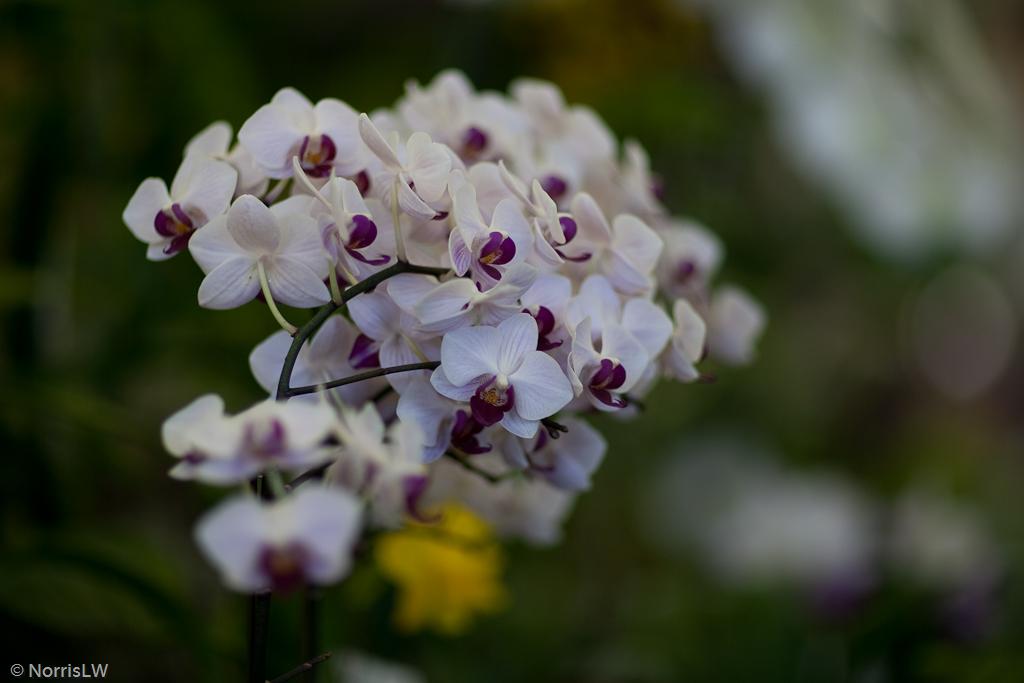 Manoa_Orchid_Show-5.jpg