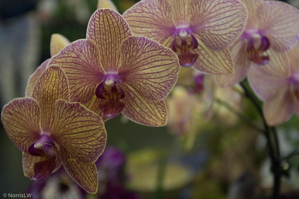 Manoa_Orchid_Show-14.jpg