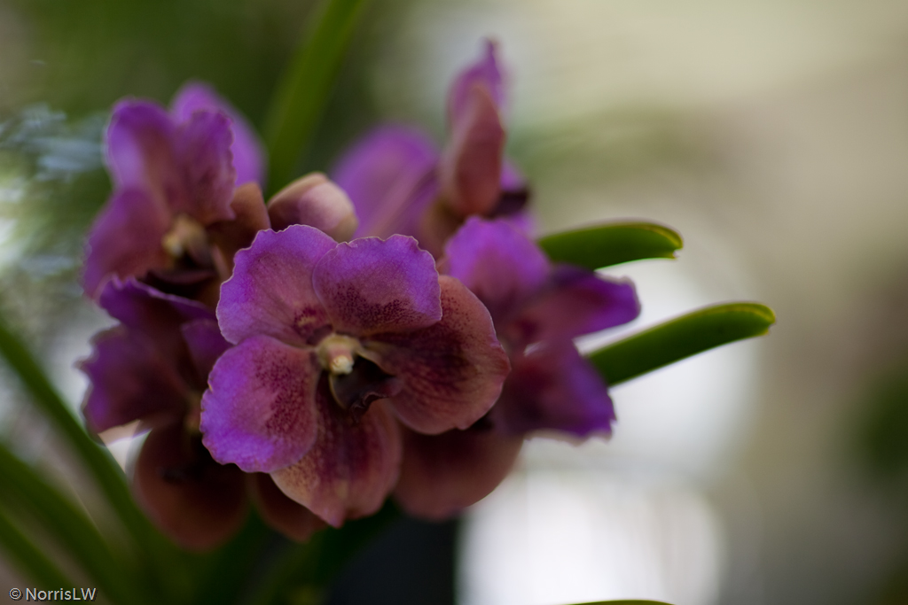 Manoa_Orchid_Show-20.jpg