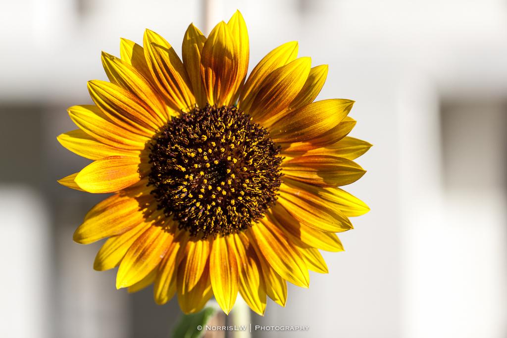 home_garden_sunflower-20170909-001.jpg