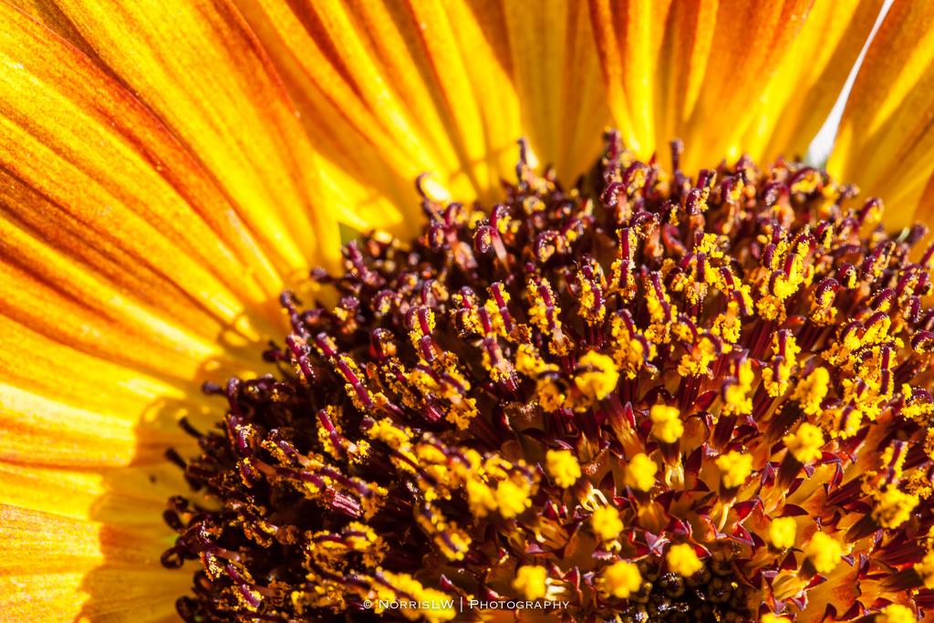 home_garden_sunflower-20170909-002.jpg