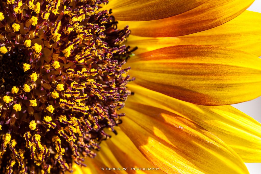 home_garden_sunflower-20170909-004.jpg