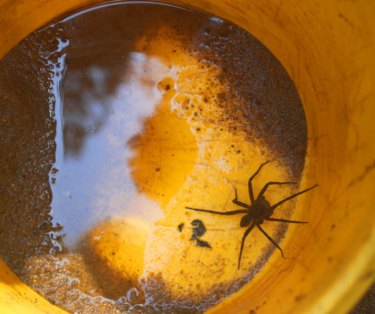 Mama wolf spider found by the creek email.jpg
