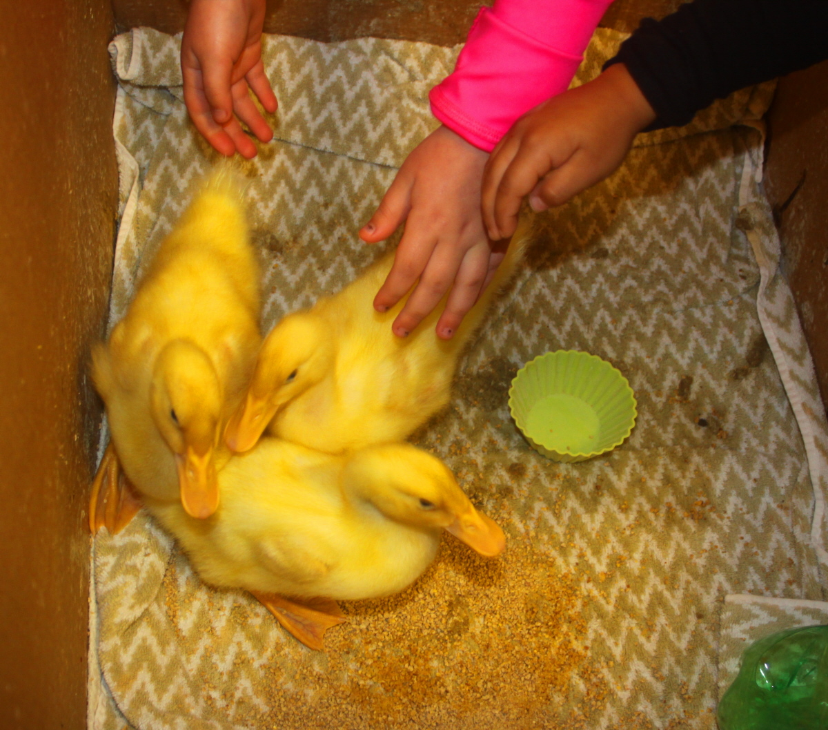Gentle hands with the ducklings email.jpg