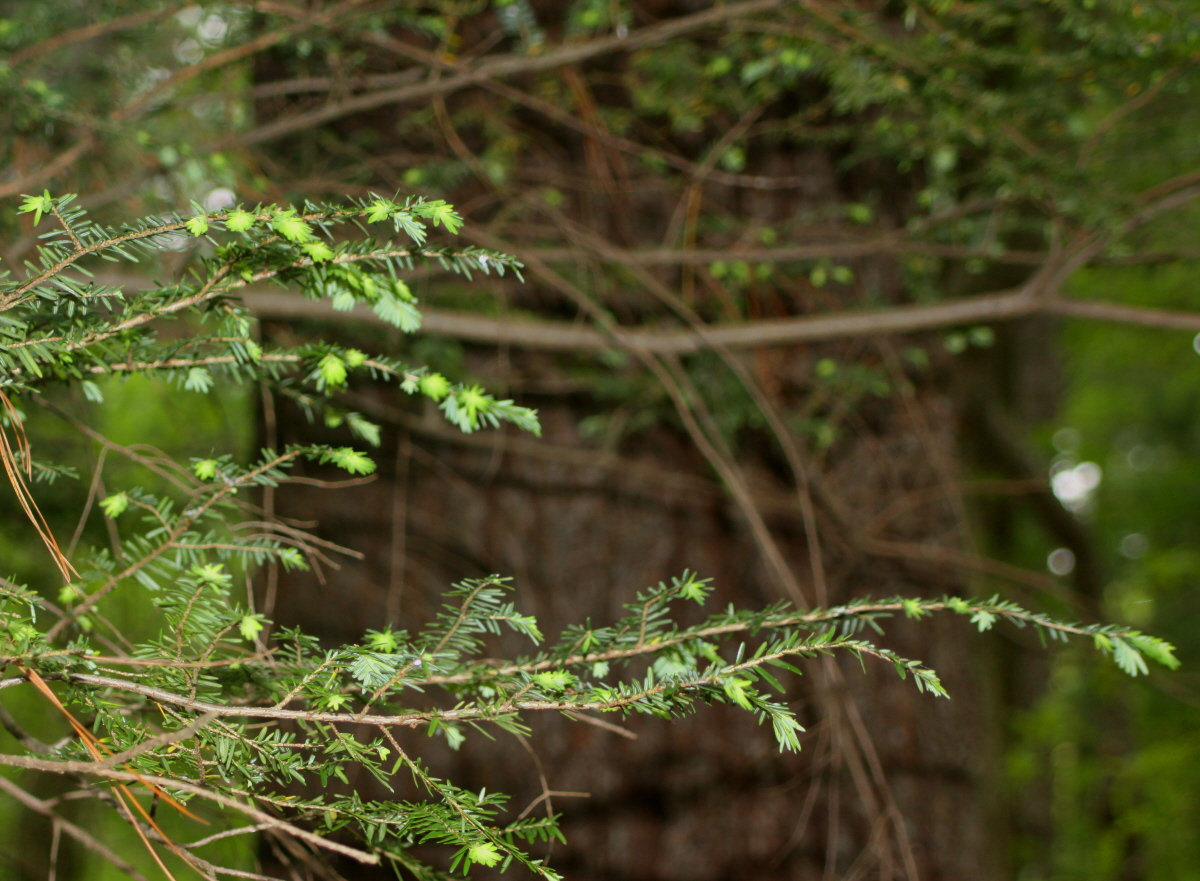Hemlock with new growth email.jpg