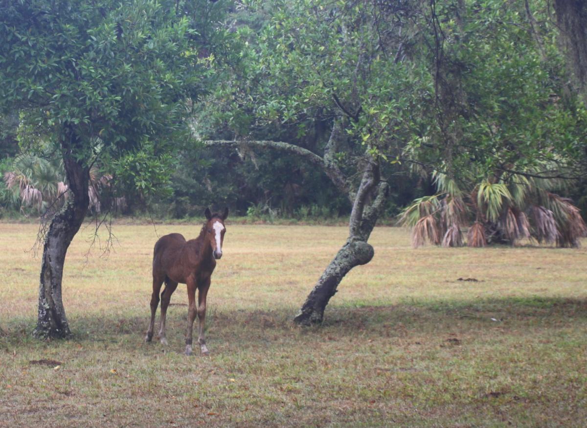 Wild colt on Cumberland email.jpg