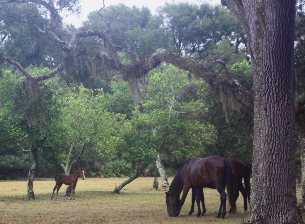 Wild horses on Cumberland Island email.jpg