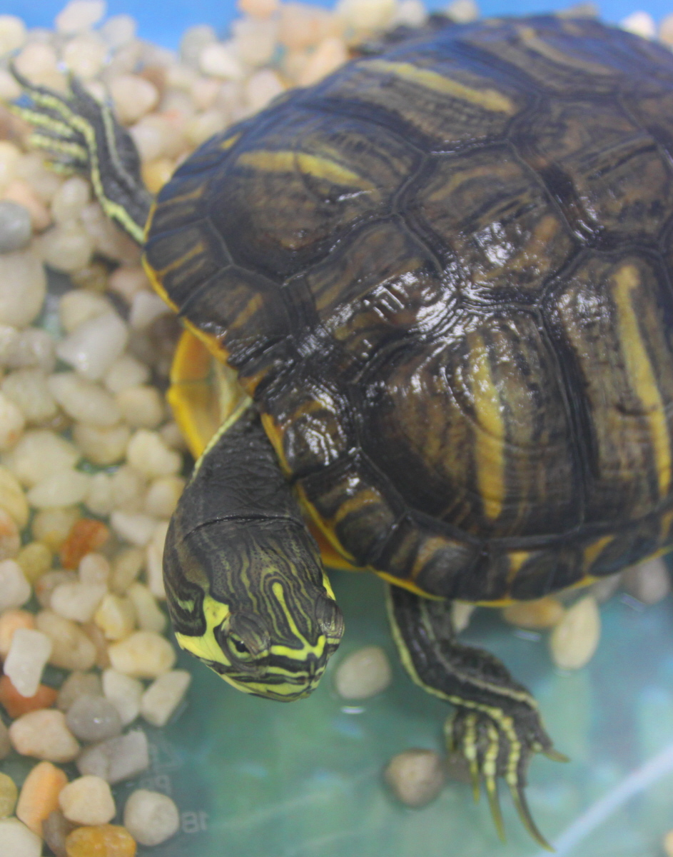 School yellow-bellied slider closeup email.jpg