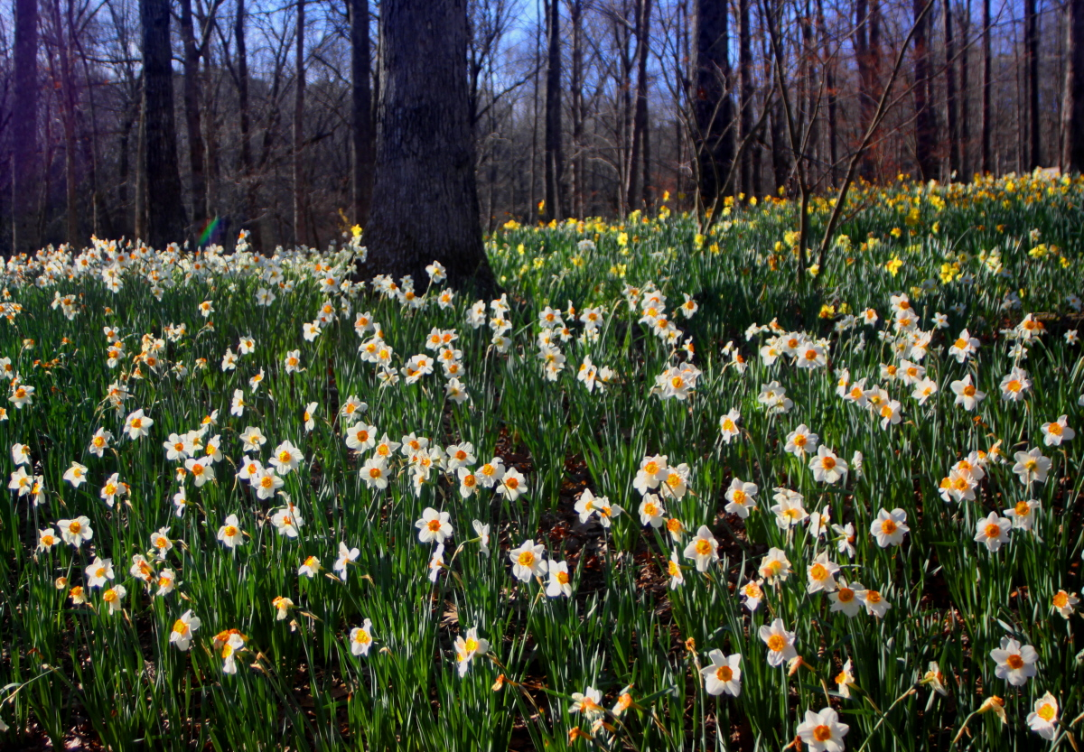 Fields of daffodils email.jpg