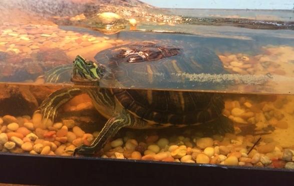 Our school turtle april2019.jpg