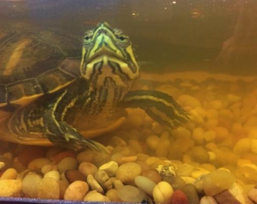 School turtle all smiles.jpg
