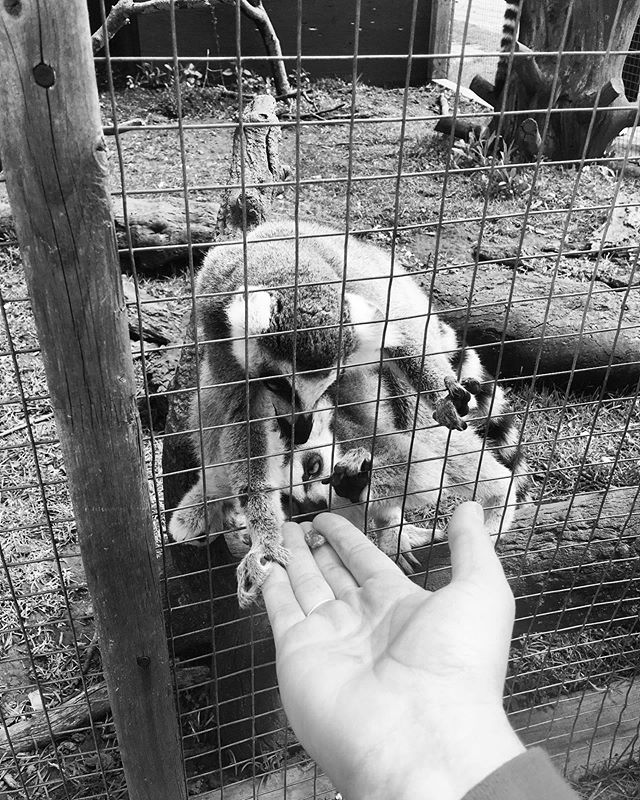 Guys. I got to feed lemurs raisins. They held my hand when they took it. This was the best day 😍