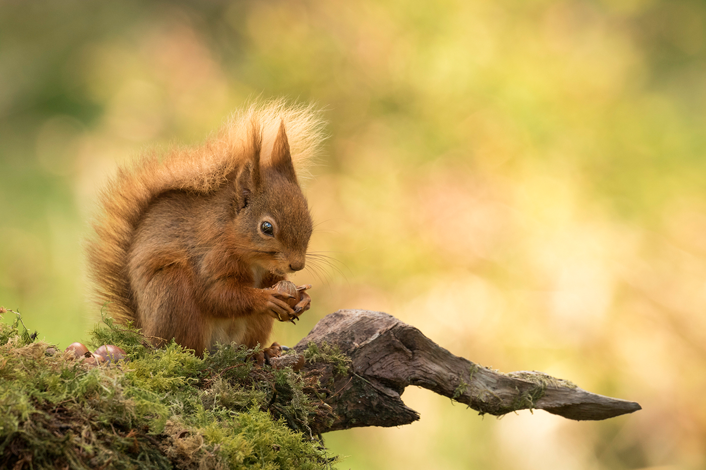 SQUIRREL NUTKIN by Andy Smith.jpg