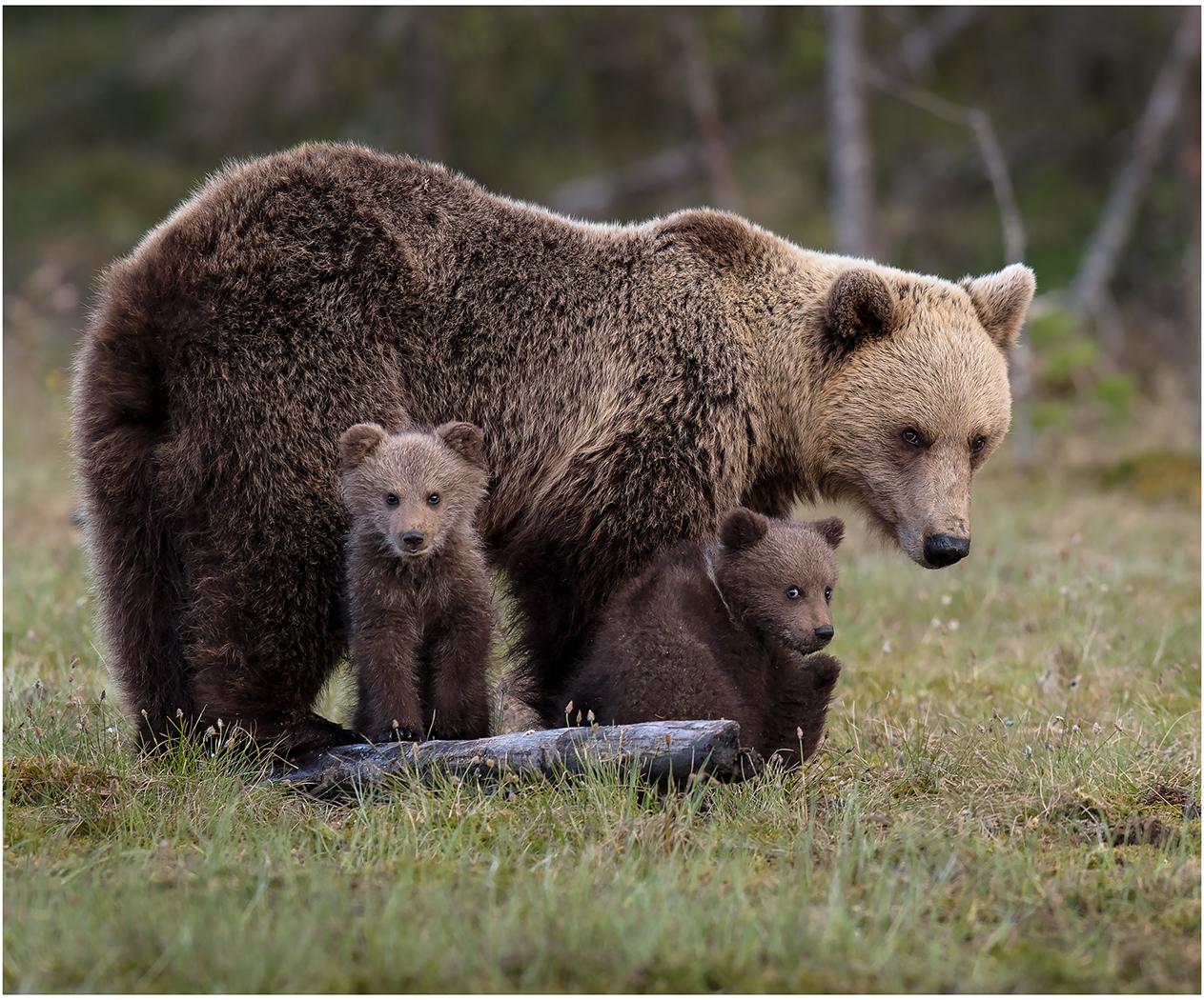 FAMILY BEAR TIME by Steve Williams.jpg