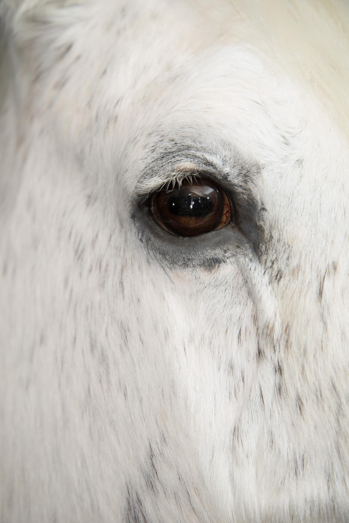 Pferdepräparation Dirk Opalka - _DSC3142.jpg