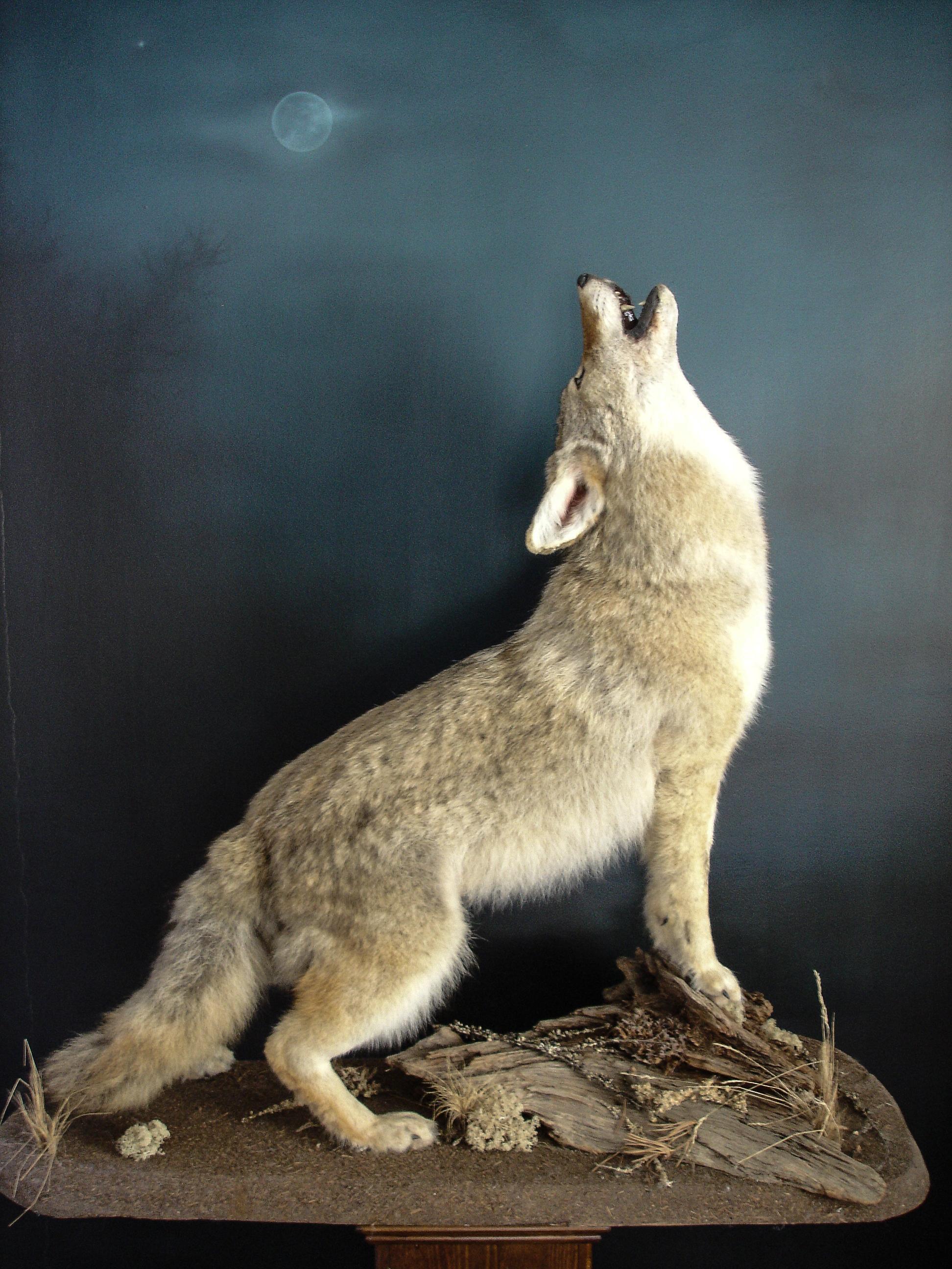 Dirk Opalka Grosssäuger Kojote 4.jpg