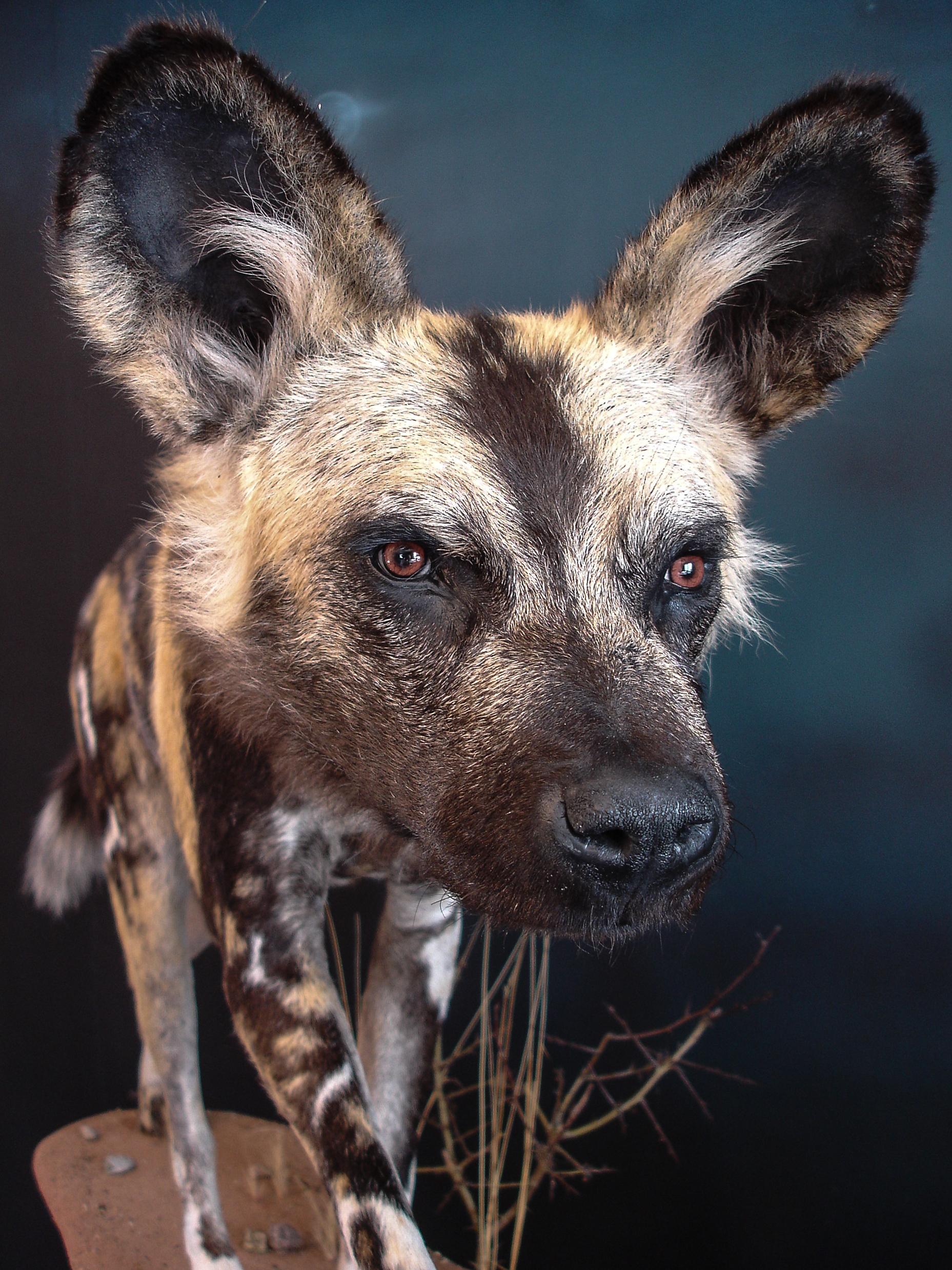 Dirk Opalka Wildhund Grosssäuger 5.jpg
