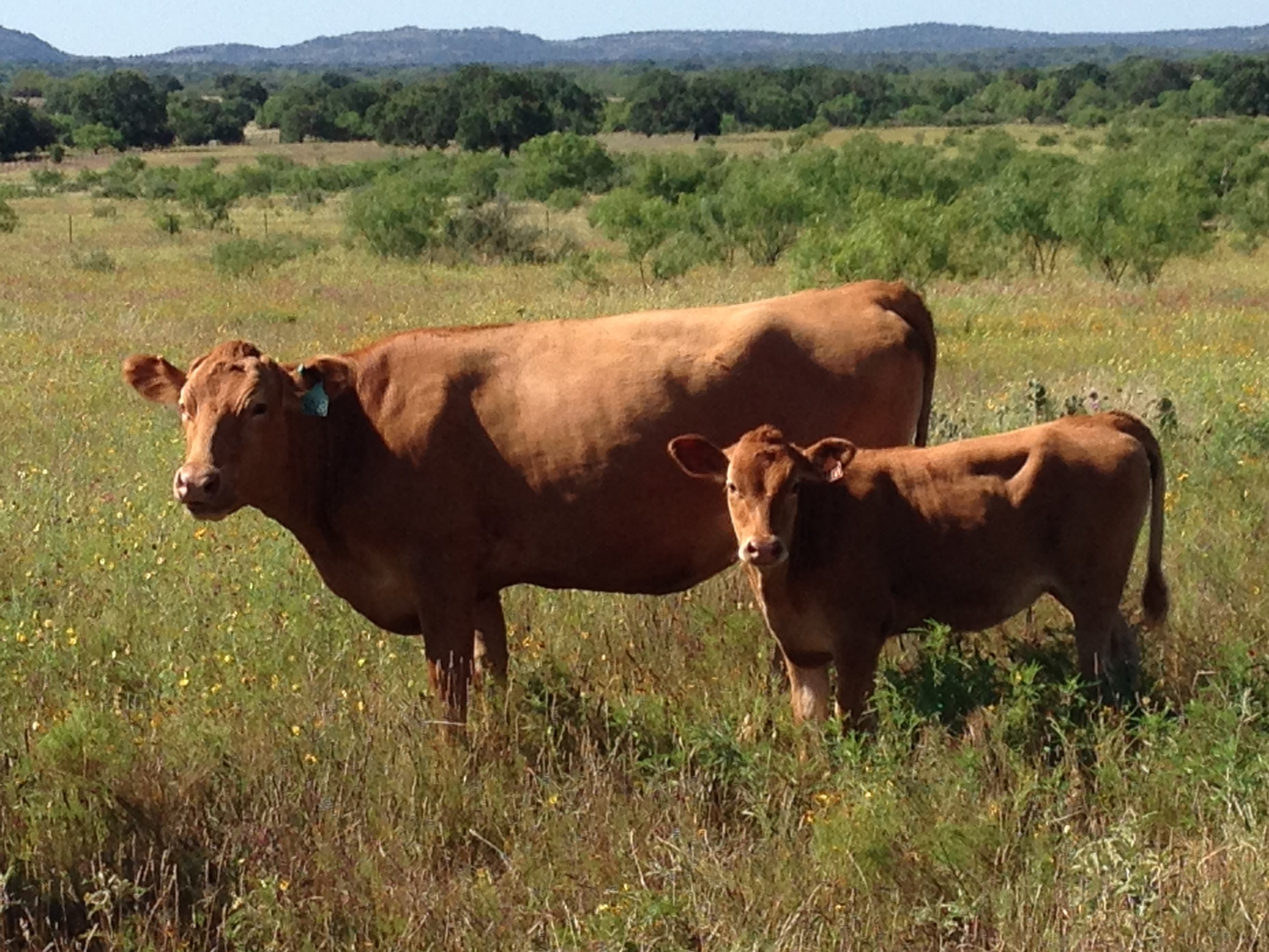 Purebred Akaushi Cattle   High Quality Texas Red Wagyu