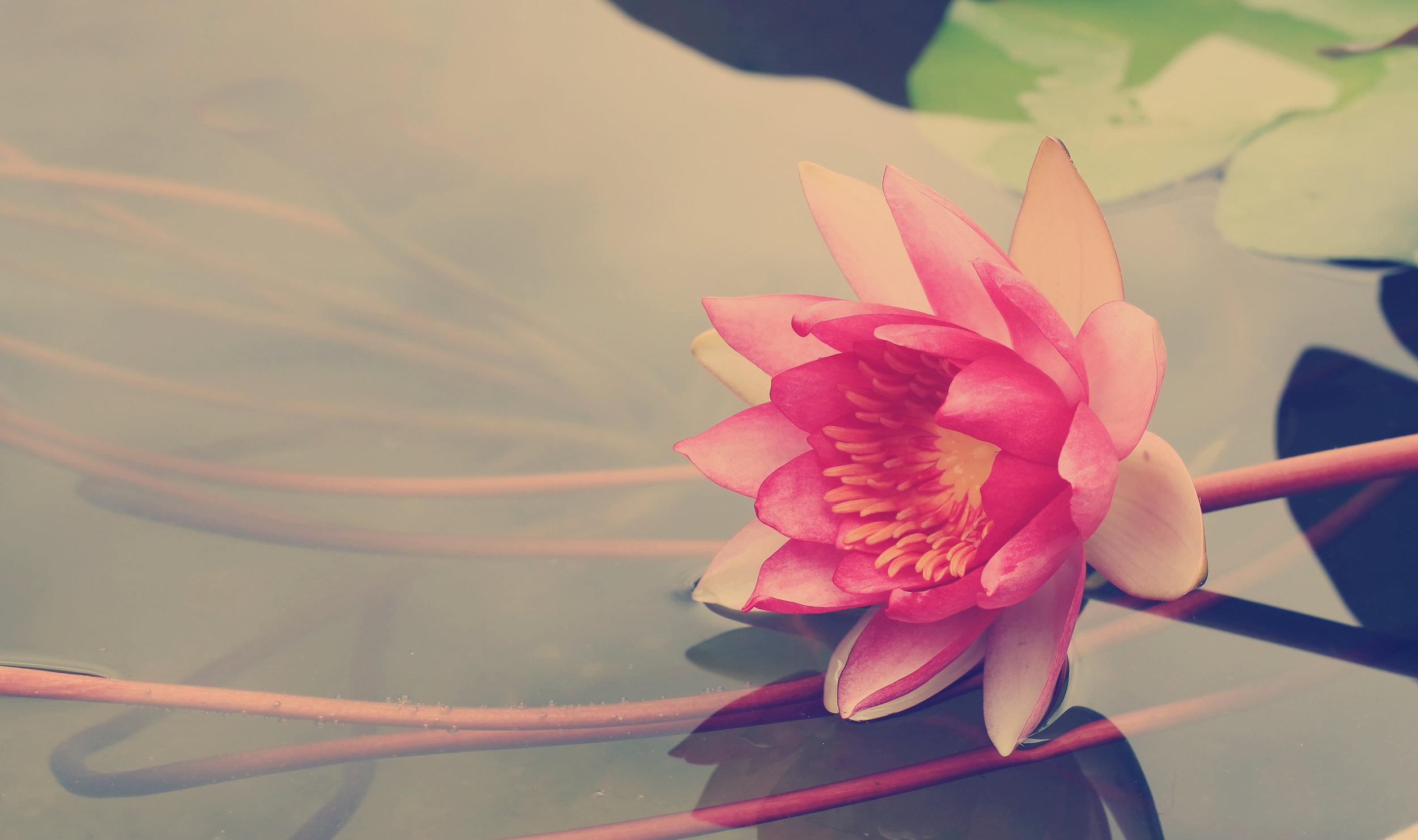 lotus in pond.jpeg